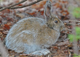 20110427 052 Snow Shoe Hare.jpg