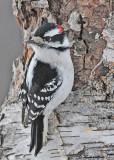20110127 - 1 001 Downy Woodpecker.jpg