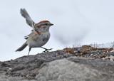 20110323 034 SERIES - American Tree Sparrow.jpg