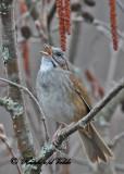 20110427 008 1c Swamp Sparrow.jpg