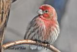 20110215 116 House Finch (M).jpg