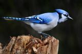 20101004 367 Blue Jay NX - 3 .jpg
