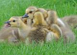 20110523 011 Can Geese Goslings.jpg