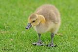 20110523 117 Canada Goose Gosling.jpg