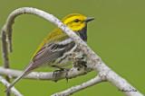 20100609 265 Black-throater Green Warbler.jpg