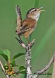 20110608 - 1 443 Marsh Wren.jpg