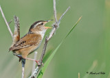 20110608 - 1 552 Marsh Wren.jpg