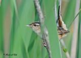 20110608 - 1 354 Marsh Wren.jpg