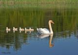 20110606 - 1 128 SERIES - Mute Swans.jpg