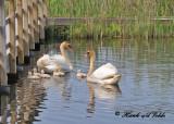 20110606 - 1 808 Mute Swans.jpg