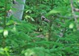 20110616 096 White-tailed Deer.jpg