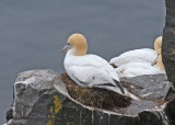 20110630 - 2 198 SERIES -  Northern Gannets.jpg