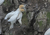 20110630 - 2 308 Northern Gannets HP.jpg
