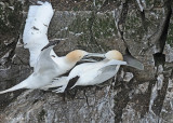 20110630 - 2 319 SERIES - Northern Gannets HP.jpg