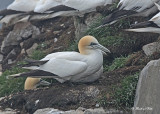 20110630 - 2 528 SERIES - Northern Gannets HP xxx.jpg