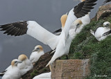 20110630 - 2 557 SERIES - Northern Gannets HP.jpg