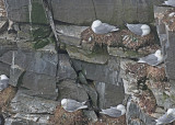 20110630 - 2 196 SERIES - Black-legged Kittiwakes HP.jpg