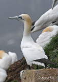 20110630 - 2 685 SERIES -  Northern Gannet.jpg
