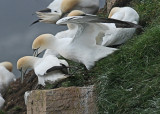 20110630 - 2 722 SERIES - Northern Gannets HP xxx.jpg