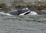 20110630 - 1 370 Humpback Whale.jpg
