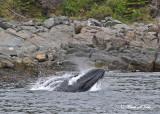 20110630 - 1 399 SERIES - Humpback Whale.jpg