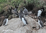 20110630 - 2 1215 2 Common Murres.jpg