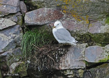 20110630 - 2 1128 SERIES - Black-legged Kittiwake HP.jpg