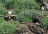 20110630 - 2 1099 SERIES - Atlantic Puffins.jpg