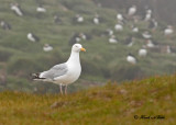 20110701 064 SERIES - Herring Gull & Puffins.jpg