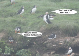 20110701 092 1r2a SERIES -  Atlantic Puffins.jpg