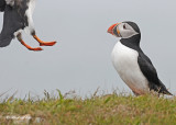 20110701 237 SERIES - Atlantic Puffins.jpg