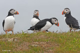 20110701 274  SERIES - Atlantic Puffins.jpg