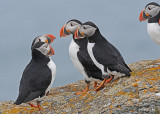 20110701 341 SERIES -  Atlantic Puffins.jpg