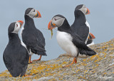 20110701 359 SERIES - Atlantic Puffins.jpg