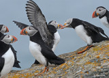 20110701 367 SERIES - Atlantic Puffins HP.jpg