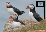 20110701 430 1R3 Atlantic Puffins HP.jpg