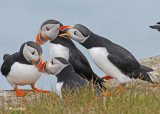 20110701 392 SERIES - Atlantic Puffins.jpg