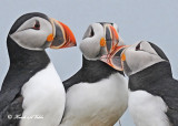 20110701 635 SERIES - Atlantic Puffins.jpg