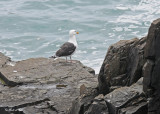20110711 065 Great Black-backed Gull.jpg