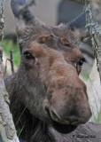 20110630 - 2  1c3 139 Moose.jpg
