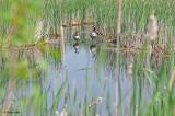 20110605 - 2 340 Canada Geese.jpg