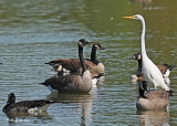 20110911 085 Great Egret & Canada Geese.jpg