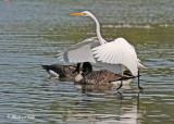 20110911 134 Great Egret & Canada Geese.jpg