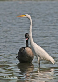 20110911 159 Great Egret & Canada Goose.jpg