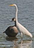 20110911 164 Great Egret & Canada Goose.jpg