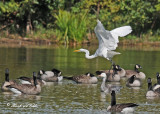 20110911 201 Great Egret, Can Geese, Snow Goose.jpg