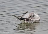 20110907 431 SERIES - Bonaparte's Gull.jpg