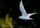 20110903 088 SERIES - Bonaparte's Gull.jpg