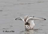 20110824 700 1c1 Bonapartes Gulls.jpg