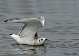 20110831 087 Bonapartes Gull.jpg